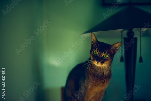 Beautiful Abyssinian cat sitting on a tansu chest beside a lamp
