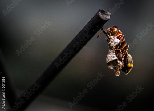 Fényképezés Macro Shot Of Wasp With Nest On Metal