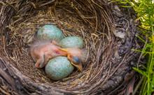 Newborn Baby Blackbird In The ...