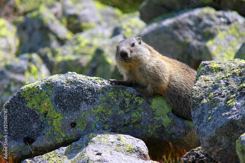 Fototapeta Marmot, Tatra Mountains, Poland obraz