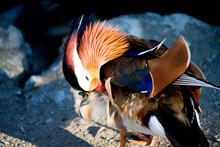 Close-Up Of Mandarin Duck