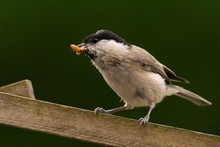 Close-Up Of Carolina Chickadee Carrying Food In Mouth