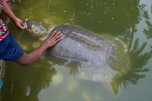 High Angle View Of Cropped Hands Touching Large Tortoise In Pond