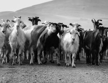 Goats Standing On Field Against Mountain