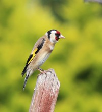 Close-Up Of Gold Finch Perching On Wooden Post
