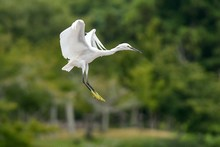 Egret Flying By Trees