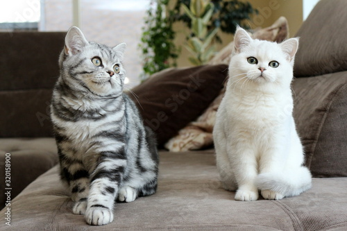 Fototapety, obrazy: Cats Sitting On Sofa At Home