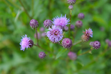 Delicate Pink Sow Thistle Flowers Close-up