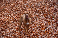 Portrait Of Dogue De Bordeaux On Fallen Autumn Leaves