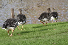 Egyptian Geese Heading For The...