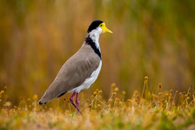 Masked Lapwing On Field