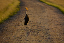 Grey Crowned Crane On Dirt Road Amidst Field