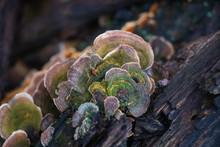 False Turkey Tail Mushroom (St...
