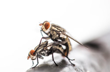 Close-Up Of Flies Mating On Railing