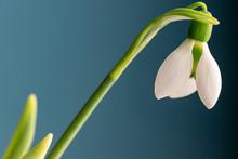 Elegant Snowdrop Flower With D...