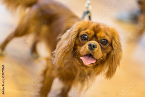 Canvas-taulu Close-Up Portrait Of Cavalier King Charles Spaniel