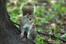 Close-Up Of A Squirrel Looking...