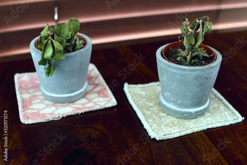 Murais de parede Two small dying succulent plants in grey pots