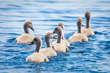 Baby Swans, Cygnus Olor, In Da...