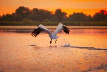 Pelican In Danube Delta, Romania