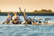 Pelecanus Onocrotalus Pelicans...