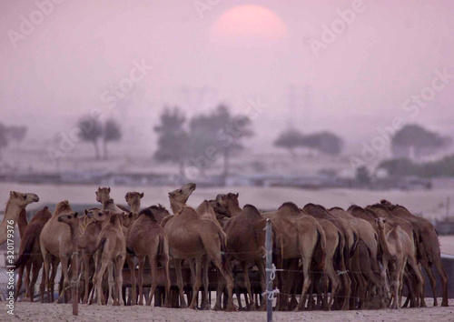 Leinwand Poster Camels On Arid Landscape During Sunset