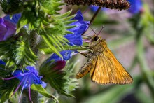 Close-Up Of Skipper Butterfly On Flower