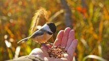 Close-Up Of Chickadee Perching On Hand