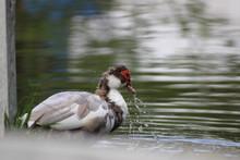 Duck Splashing Water In Lake