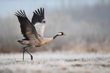 Common Crane Bird (Grus Grus)