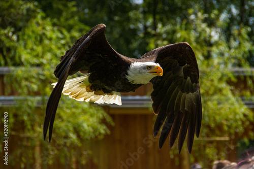 Valokuvatapetti Close-Up Of Bald Eagle Flying Against Trees