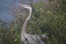Bird Called A Great Blue Heron...