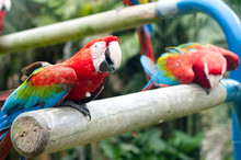 Scarlet Macaws Perching On Wood