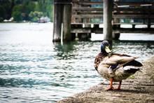 Mallard Duck Perching On Lakeshore