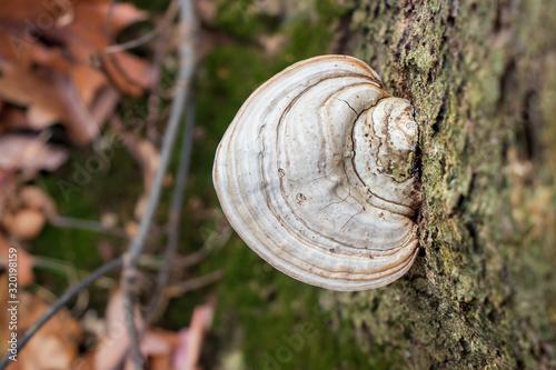 Fotografía A faded artist's conk mushroom (Ganoderma applanatum) growing on a tree trunk