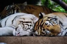 THREE TIGERS SLEEPING