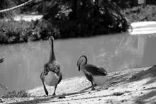 Ducks At Riverbank
