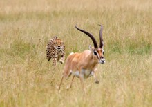 Cheetah Chasing Impala On Gras...