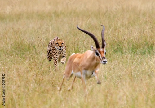 Cheetah Chasing Impala On Grassy Field Fototapet