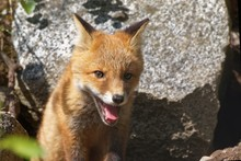 Portrait Of Red Fox Yawning On...