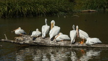 Pelicans Perching On Driftwood In Lake