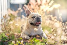 Cute French Bulldog Lying At Grass Field.