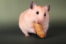 Golden Hamster Eating Peanut On Surface
