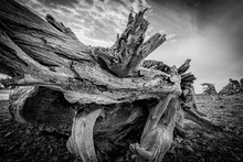 Huge Ancient Driftwood Washed ...
