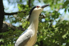 Low Angle View Of Night Heron On Trees