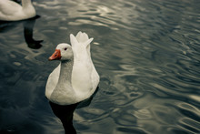 Chinese Goose Swimming In Lake