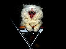 Cat Yawning While Sitting On Chair Against Black Background