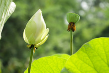 A Beautiful White Lotus In The...