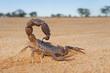 canvas print picture - Granulated thick-tailed scorpion (Parabuthus granulatus), Kalahari desert, South Africa .