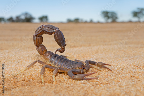Granulated thick-tailed scorpion (Parabuthus granulatus), Kalahari desert, South Africa Obraz na płótnie